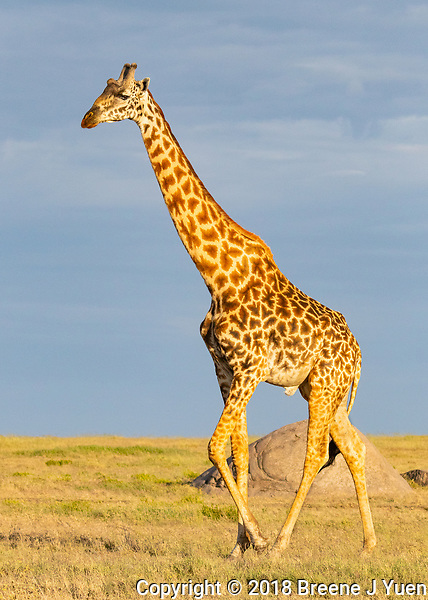 Giraffe in Sunrise Light
