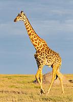 Giraffe in Sunrise Light