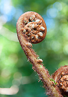 Dicksonia antarctica, known as the Soft Tree Fern, Man Fern or Tasmanian Tree Fern, is an evergreen tree fern native to parts of Australia at Arduaine, Argyll and Bute, Scotland.