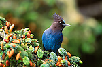 Steller's jay, Del Norte Coast Redwoods State Park, California, USA