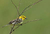 591400021 a wild male  black-throated green warbler setophaga virens - was dendroica virens perches in a small mesquite bush on south padre island texas