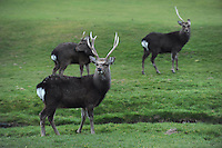 Sika deer pictured grazing on Killarney Golf Course yesterday, one with a  full pair of antlers, one who has shed on side of antlers and one young fawn growing  his first set of antlers.<br /> Photo: Don MacMonagle