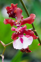 Oncidium Sharry Baby 'Sweet Fragrance', fragrant orchid hybrid, easy to grow, popular hybrid of Onc. Jamie Sutton x Honolulu, <br /> 1984