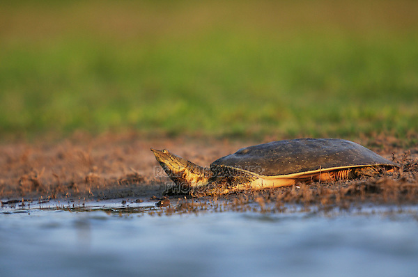 Spiny Softshell (Apalone spinifera), adult sunning, Dinero, Lake Corpus Christi, South Texas, USA