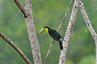 Wild Keel-billed Toucan (Ramphastos sulfuratus), also known as Sulfur-breasted Toucan or Rainbow-billed Toucan.  Found from southern Mexico south through Central America into northern South America.  This photo was taken in the rain in Costa Rican lowland rainforest.
