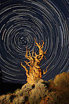 Star trails circle around Polaris, the North Star, in the sky above an ancient bristlecone pine at the Ancient Bristlecone Pine National Forest, near Bishop, California