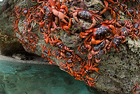 Cast of Red Crabs, Gecarcoidea natalis, clinging on to rocks by sea, Christmas Island, Australia, Indian Ocean