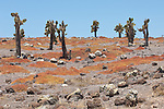 South Plazas Island, Galapagos, Ecuador; endemic Prickly Pear Cactus (Opuntia Cactaceae) dot the landscape while ground covering succulents turn orange as they dry out from lack of rain , Copyright © Matthew Meier, matthewmeierphoto.com All Rights Reserved