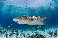 pk11672-D. Lemon Shark (Negaprion brevirostris). Bahamas, Atlantic Ocean..Photo Copyright © Brandon Cole. All rights reserved worldwide.  www.brandoncole.com..This photo is NOT free. It is NOT in the public domain. This photo is a Copyrighted Work, registered with the US Copyright Office. .Rights to reproduction of photograph granted only upon payment in full of agreed upon licensing fee. Any use of this photo prior to such payment is an infringement of copyright and punishable by fines up to  $150,000 USD...Brandon Cole.MARINE PHOTOGRAPHY.http://www.brandoncole.com.email: brandoncole@msn.com.4917 N. Boeing Rd..Spokane Valley, WA  99206  USA.tel: 509-535-3489