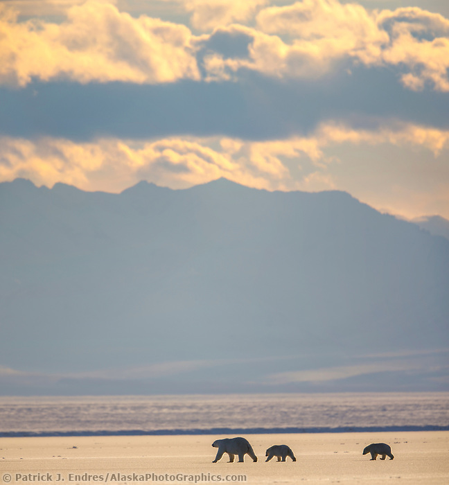 Bears on sea ice in the Beaufort Sea, Romanzof Mountains of the Brooks Range in the distance. Arctic National Wildlife Refuge, Alaska.