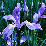 Rocky Mountain iris or blue flag, spring wildflower in the Rocky Mountains, Colorado, USA
