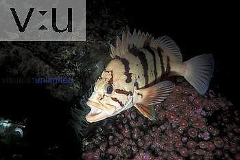 Tiger Rockfish (Sebastes nigrocinctus).