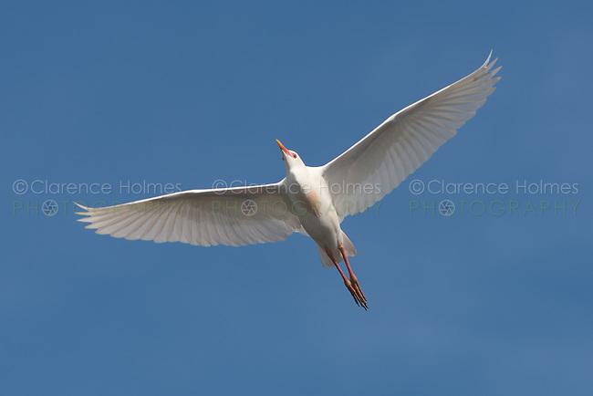 Cattle Egret (Bubulcus ibis) in flight