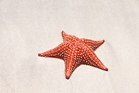 Cushion Sea Star (Oreaster reticulatus), a common starfish on Star Beach, near Boca del Drago, Colon Island, Panama
