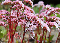 Stock image of beautiful stems of tiny pink flowers.