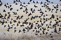 Winter flock of Red-winged Blackbirds (Agelaius phoeniceus) in flight. Lower Klamath National Wildlife Refuge, Siskiyou County, California. December.