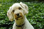 Cockapoo dog.Dan Mezik.