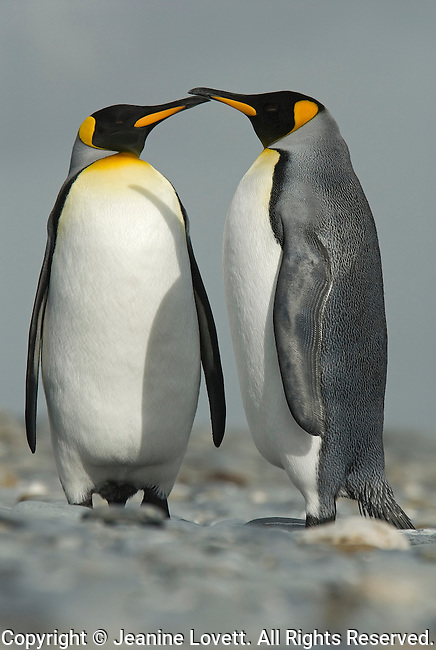 My Favorite Courting king penguin couple on rocky beach in South Georgia.