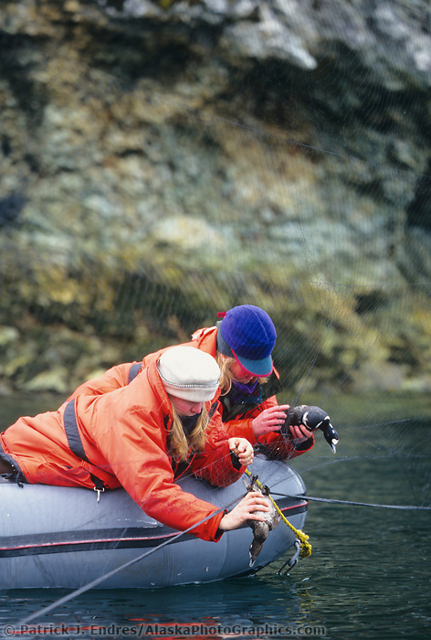 Harlequin duck research, related to the Exxon Valdez Oil Spill, Prince William Sound, Alaska
