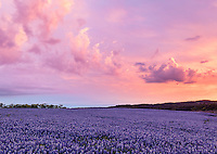 Muleshoe Bend Recreation Area, Texas Hill Country, TX: Colorful sunrise clouds with a field of bluebonnets.