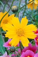 Yellow flowers of perennial Coreopsis Elfin Gold