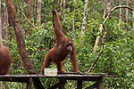 Bornean Orangutan (Pongo pygmaeus wurmbii) - adult female drinks milk from the Camp Leakey feeding platform.