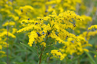 Goldenrod (Solidago virgaurea) on a road verge.