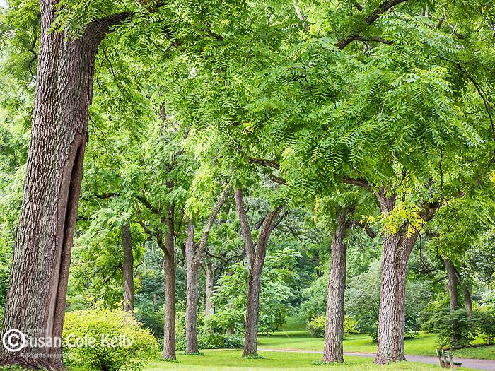 Black Walnut at the Arnold Arboretum in the Jamaica Plain neighborhood, Boston, Massachusetts, USA