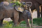 Namibia;  Namib Desert, Skeleton Coast,  desert elephant (Loxodonta africana) calves playing