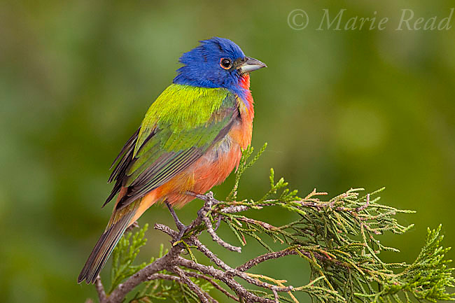 Painted Bunting (Passerina ciris) male perched on cedar branch in spring, Wichita Mountains NWR, Oklahoma, USA