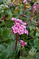 Bergenia Autumn Magic in October fall flower bloom with green foliage