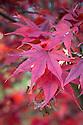 Autumn foliage of Acer palmatum 'Takinogawa', early November.