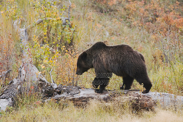 Grizzly Bear (Ursus arctos horribilis), adult, Yellowstone National Park, Wyoming, USA