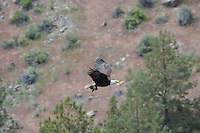Bald Eagle Nest (Haliaeetus leucocephalus)--adult bringing small mammal into nest to feed its two young eaglets.  Oregon.  May.