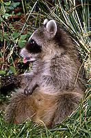 Young raccoon, captive. Utah.