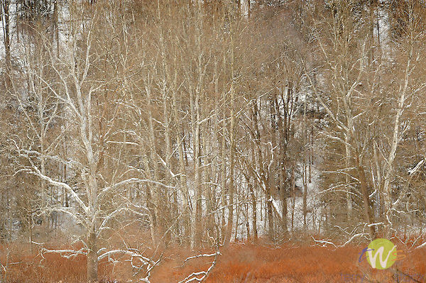 Winter hillside in winter snow and Sycamore tree texture.