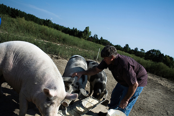 September 13, 2007, Louisburg, NC..Michael Jones, owner of Mae Farms, a sustainable hog farm, feeds his hogs. Jones worked in standard hog farming before going out on his own with this free range, sustainable model. Jones spends the morning walking the farm and checking on the various pens throughout the property.