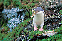 yellow-eyed penguin, Megadyptes antipodes, Enderby Island, New Zealand