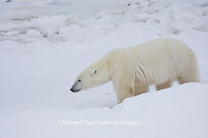 01874-11513 Polar Bear (Ursus maritimus)  walking Churchill Wildlife Management Area MB