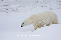 01874-11513 Polar Bear (Ursus maritimus)  walking Churchill Wildlife Management Area MB