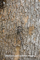 06340-001.04 Gray Petaltail (Tachopteryx thoreyi) perched on tree, Ripley Co.  MO