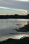 Yala National Park Sri Lanka<br /> Grey Heron, Indian Pond Heron and Crocodile
