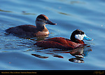 Ruddy Duck, Male and Female, Drake and Hen, Sepulveda Wildlife Refuge, Southern California