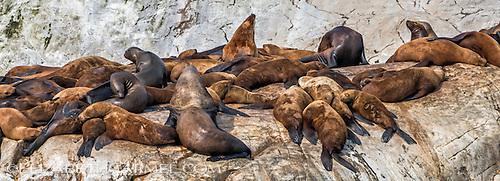 Glacier Bay Sea Lions