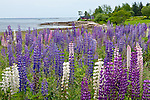 Lupines line the shore of Frenchman Bay at Prospect Harbor, Gouldsboro, ME, USA