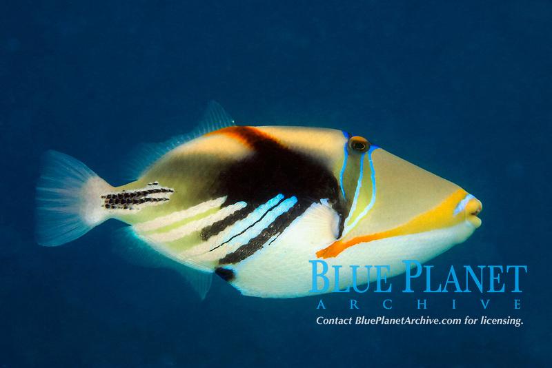 picassofish, Rhinecanthus aculeatus, Rarotonga, Cook Islands (South Pacific Ocean) (do)