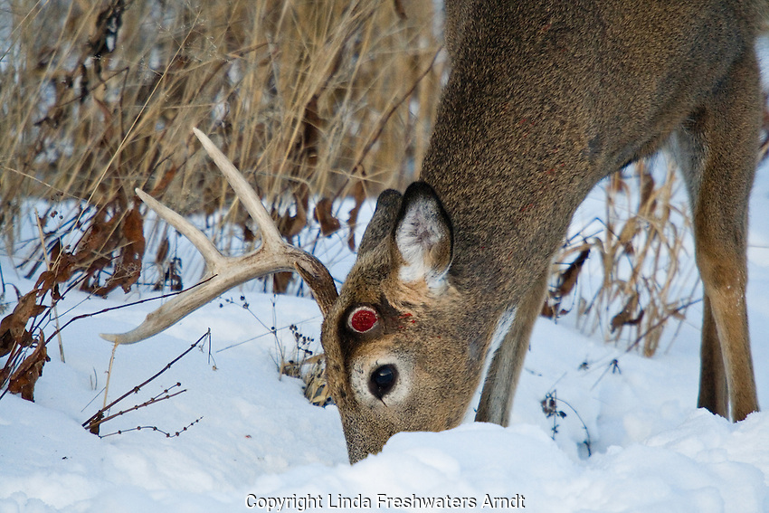 White-tailed deer that shed one antler
