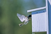 House Sparrow attacking a nesting Tree Swallow, Cumberland County, New Jersey