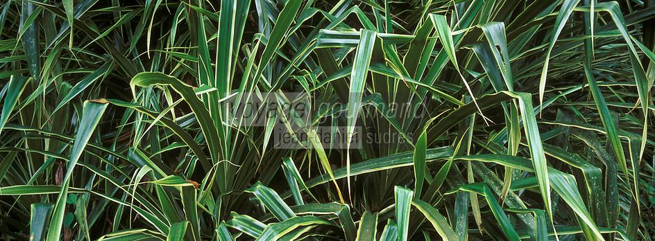 """France/DOM/Martinique/Plantation MacIntosh: Dracena """"Dracaena"""""""
