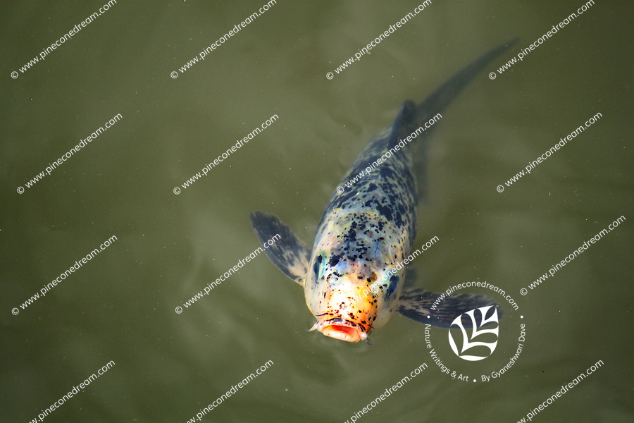 A cute angelic gorgeous blue fish with orange mouth coming out of water